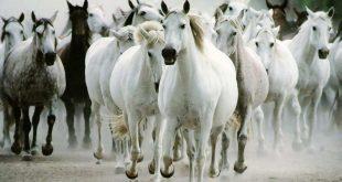 صور اجمل الصور للخيول , الخيل رغبة قوية لدي الجميع
