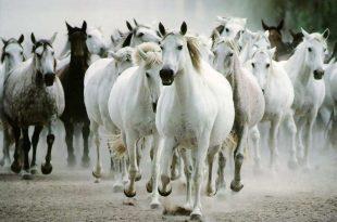 صورة اجمل الصور للخيول , الخيل رغبة قوية لدي الجميع