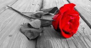 صور صور ورد حب , الورد اروع تعبير عن الحب
